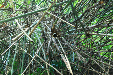 The background image of the clump of bamboo  photo