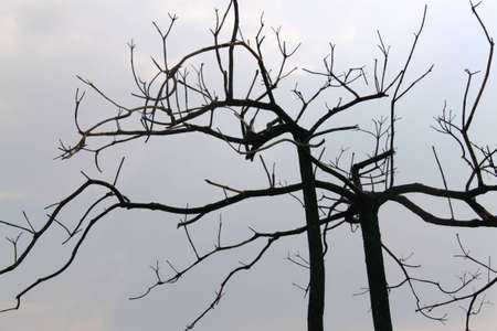 large bare tree without leaves  photo