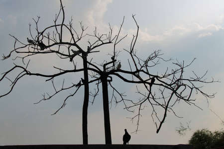 tree without leaves and pigeon photo