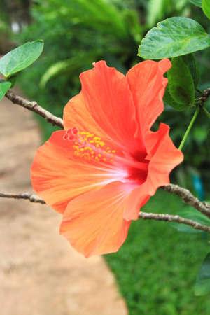 china rose: Macro of China Rose flower