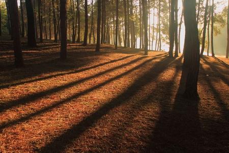 Shade Sunbeams between the trees in wood  photo