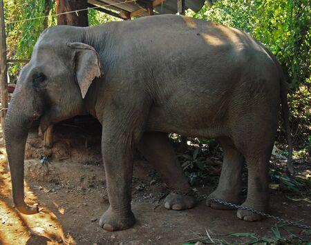 interpreter: Elephant hit by an interpreter Stock Photo