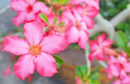 desert rose: Desert Rose   flower Stock Photo
