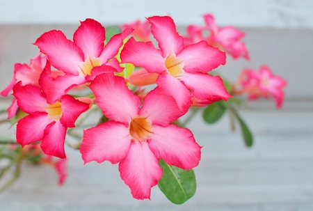 Desert Rose   flower photo