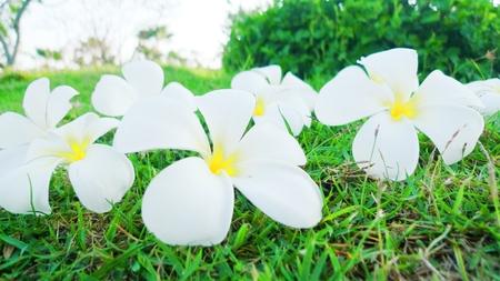 plumerias: Plumeria flower in garden Stock Photo