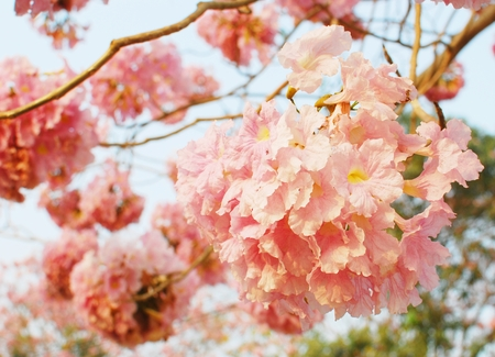 Pink tree background photo