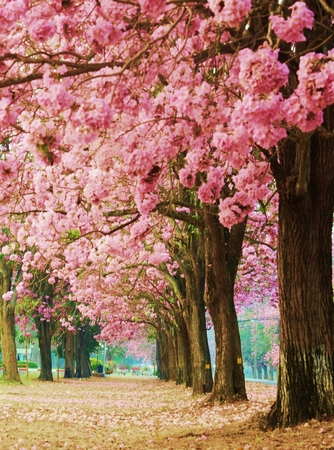 Pink flower trees is  romantic    photo