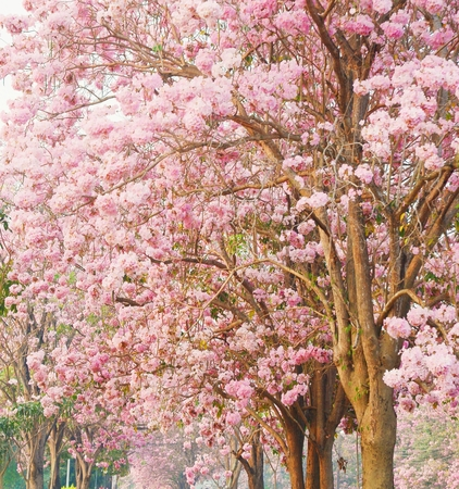 briton: Pink flower trees is  romantic    Tabebuia heterophylla  DC  Briton  Pink Trumpet Tree