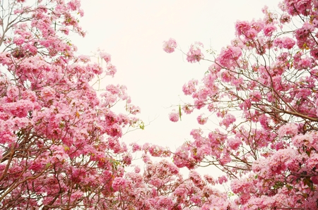 briton:  Tabebuia heterophylla  DC  Briton  Pink Trumpet Tree   flower  background Stock Photo