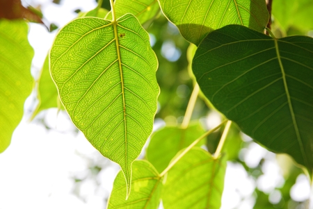 gaya: Bodhi or Peepal Leaf from the Bodhi tree, Sacred Tree for Hindus and Buddhist