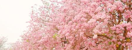 briton:  Tabebuia heterophylla  DC  Briton  Pink Trumpet Tree   flower background