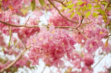 briton:  Tabebuia heterophylla  DC  Briton  Pink Trumpet Tree   flower