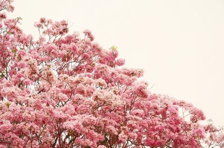 briton:  Tabebuia heterophylla  DC  Briton  Pink Trumpet Tree    background Stock Photo