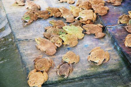 negocios comida: granja de ranas para los negocios de alimentos