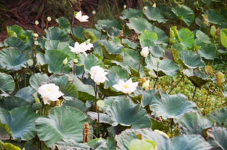 lotus on the green leaf in garden photo
