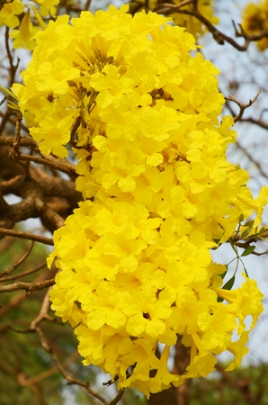 Tabebuia arentea Britt  Golden tree, Yellow pui   in Garden Thailand photo