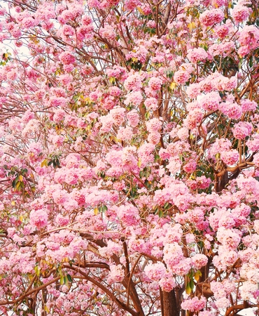 briton:  Tabebuia heterophylla  DC  Briton  Pink Trumpet Tree