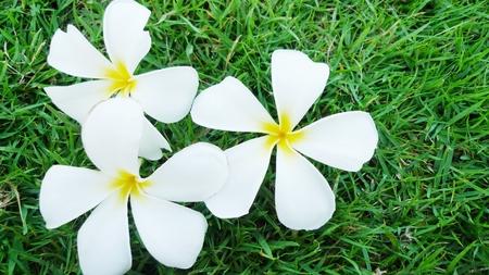 plumerias: Plumeria flower in garden Thailand  Stock Photo