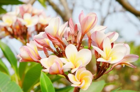 plumerias: Plumeria flower in garden Thailand.