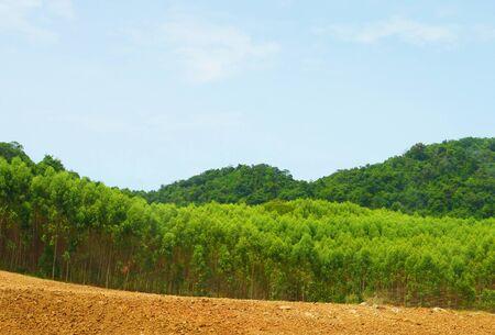 blue mountains tree frog: Landscape of Eucalyptus