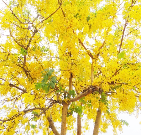 cassia: Golden shower flower background  (Cassia fistula) Stock Photo