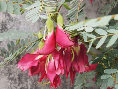 edible: Sesbania grandiflora edible flowers