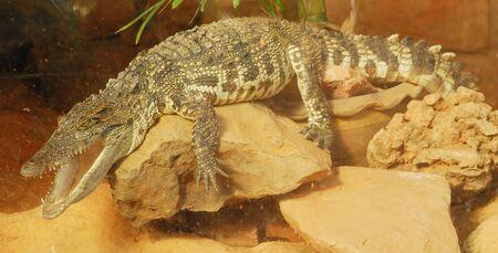 wildanimal: Crocodile