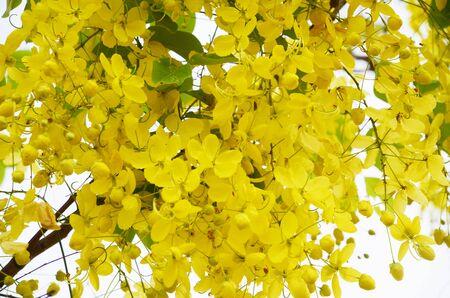 golden shower: Golden shower flower background  Cassia fistula