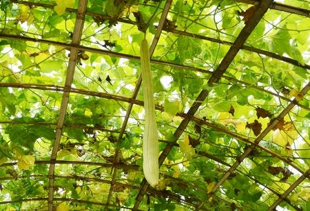 angled: Angled gourd in farm vagatable Stock Photo