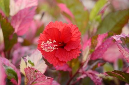 china rose: Hibiscus rosa-sinensis L China rose Stock Photo