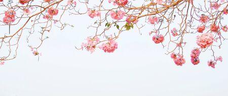 Tabebuia heterophylla Pink Trumpet Tree