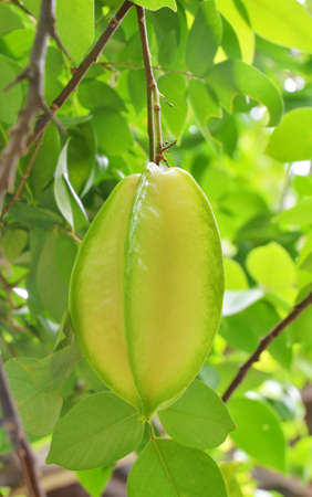 carambola: carambola Starfruit