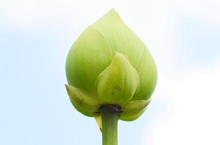 De bloemknop van Lotus