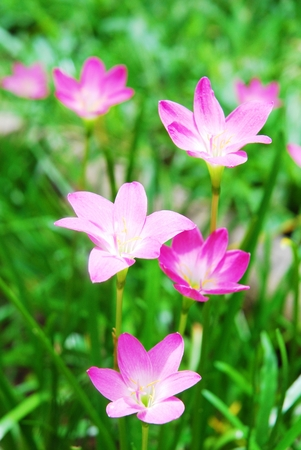 spp: Zephyranthes spp Zephyranthes