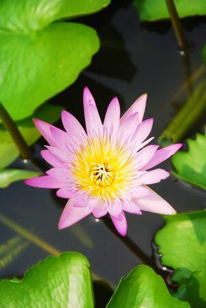 violate: Lotus flower Stock Photo