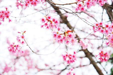 prunus: Prunus cerasoides
