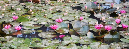 violate: Water lily Stock Photo