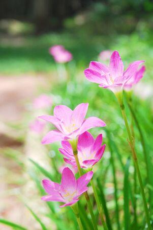 violate: Rain Lily Stock Photo