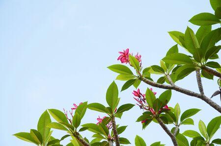 plumerias: Plumier flower