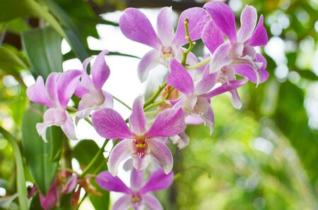 violate: Violate orchid