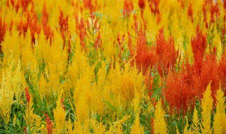 l natural: Celosia argentea L background