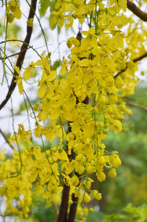 cassia: Cassia fistula Golden Shower Tree-
