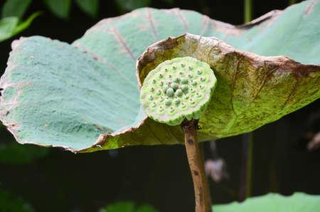 violate: Lotus flower in garden