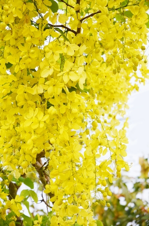 golden shower: Golden shower flower background  (Cassia fistula) Stock Photo