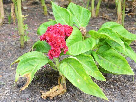 celosia: Celosia argentea L