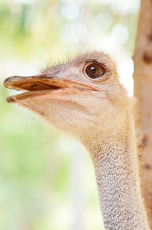 ostrich: Avestruz primer