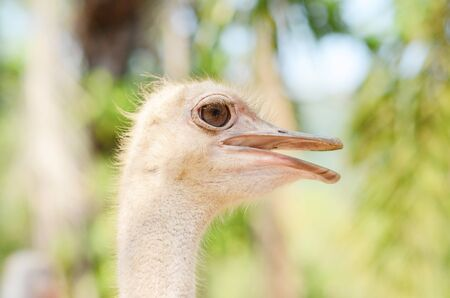 Ostrich: Ostrich closeup