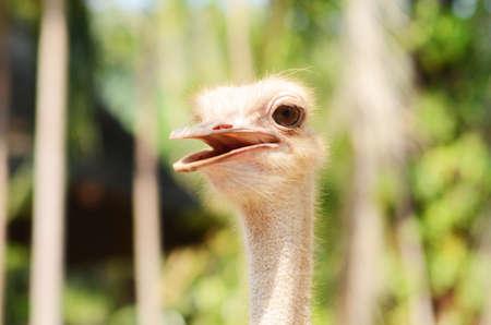 potrait: Ostrich potrait Stock Photo