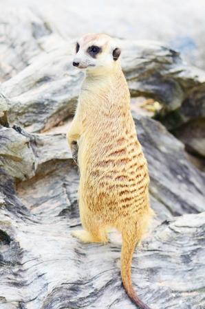 at meerkat: Standing Meerkat
