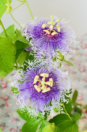 passion flower: passion flower passiflora